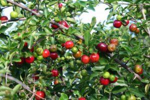 Acerola Cherry Tree